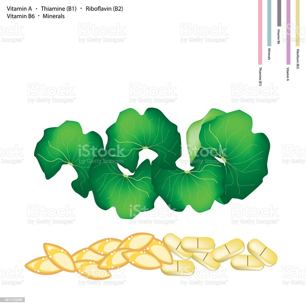 Gotu Kola Leaves with Vitamin A, B1, B2 and B6 vector art illustration