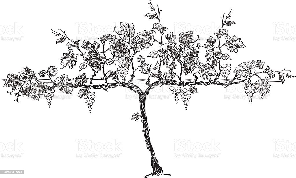 grape tree vector art illustration