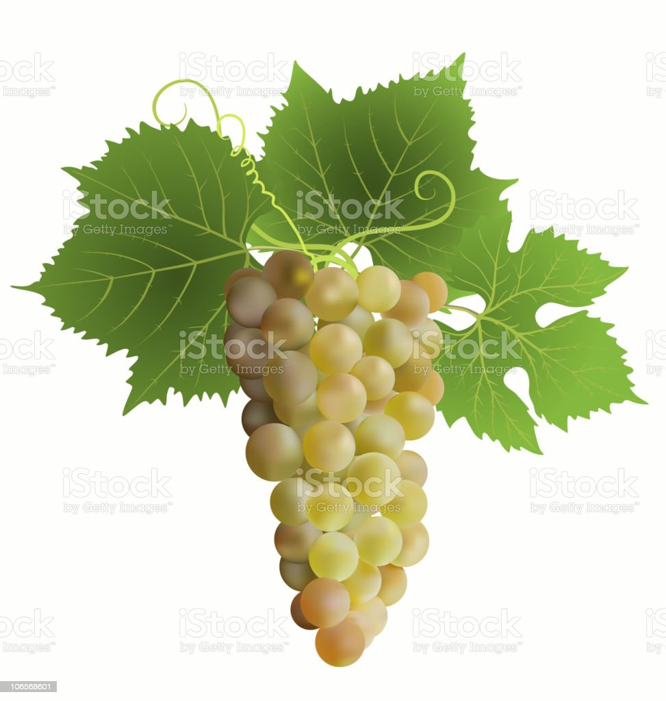grape vector art illustration