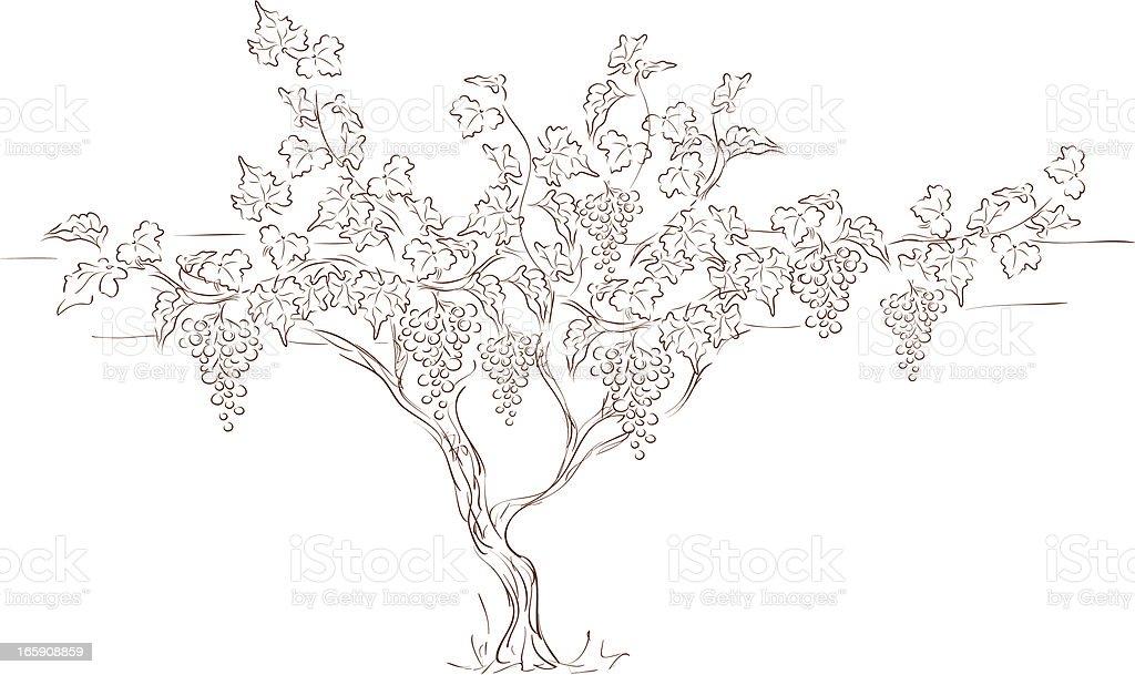 Grape vine royalty-free stock vector art