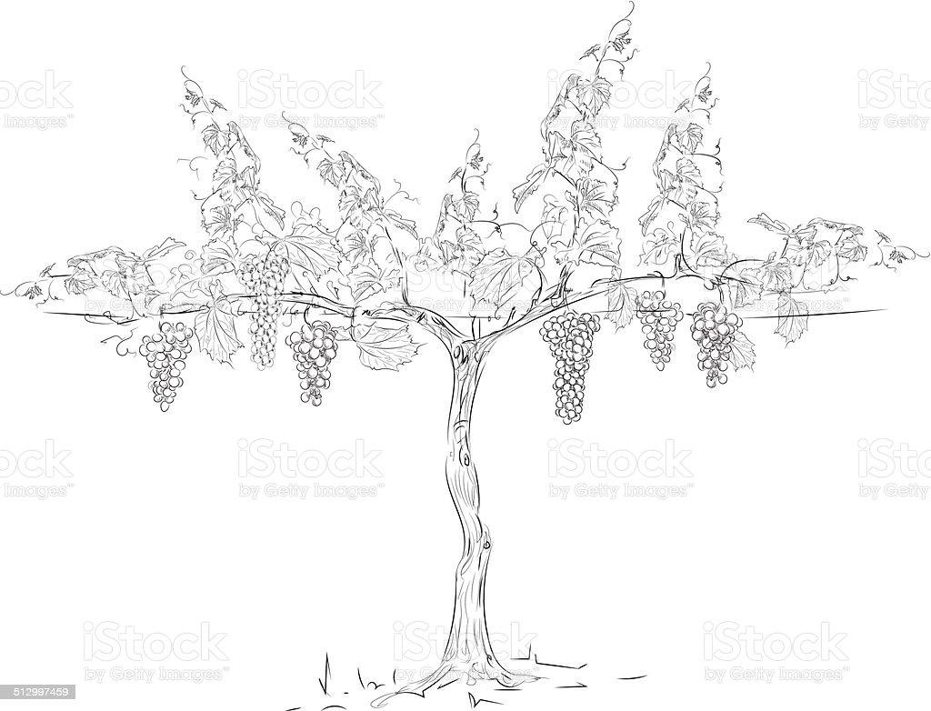 grape vine vector art illustration