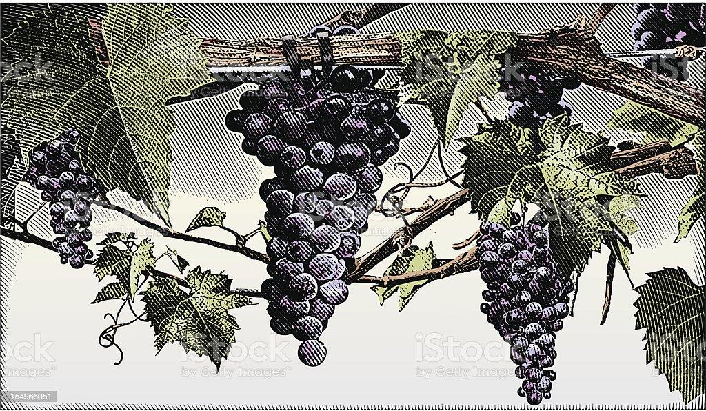 Grapevine vector art illustration