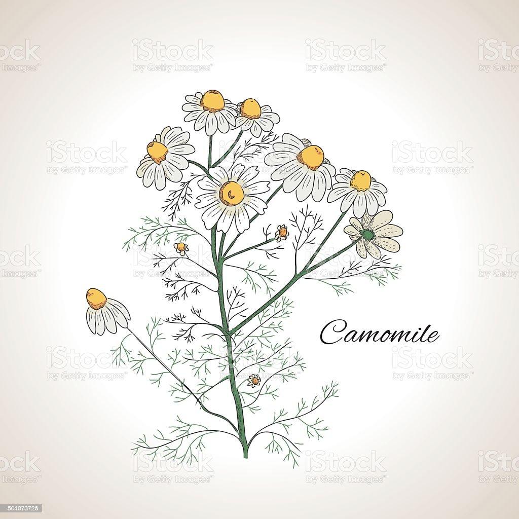 Graphic design herb chamomile vector art illustration