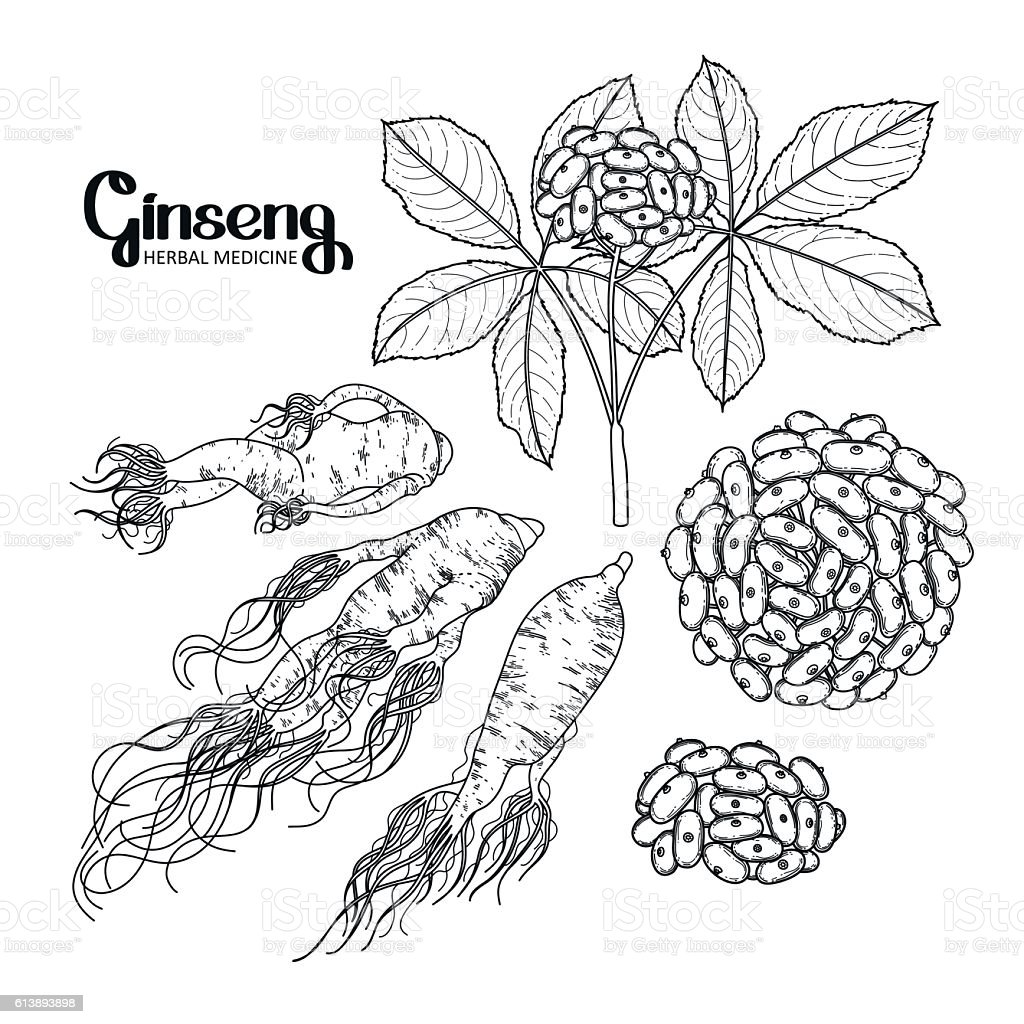 Graphic ginseng root and berries vector art illustration