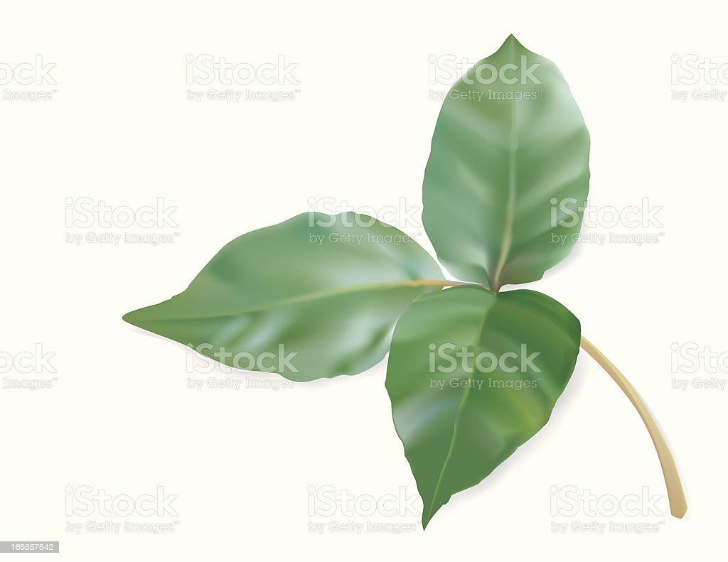 Graphic image of poison ivy on a white background vector art illustration