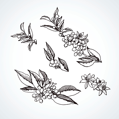 drawing of the orange blossom clip art vector images
