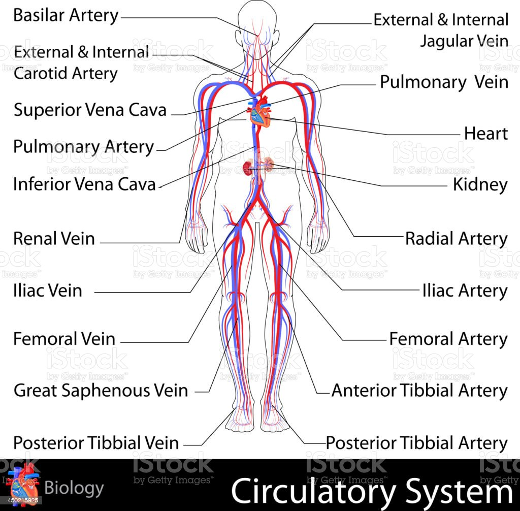 A graphical labeled representation of the circulatory system royalty-free stock vector art