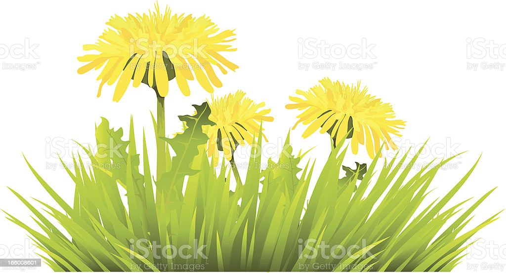 grass with dandelions royalty-free stock vector art