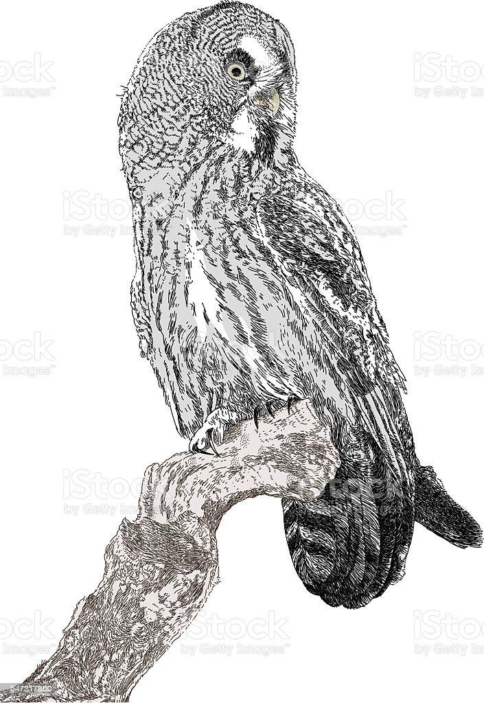 Great Grey Owl vector art illustration