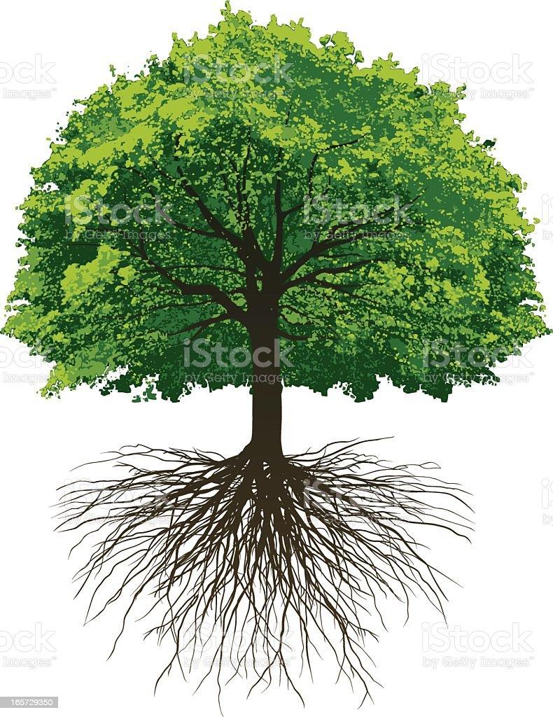 Great Oak Roots vector art illustration