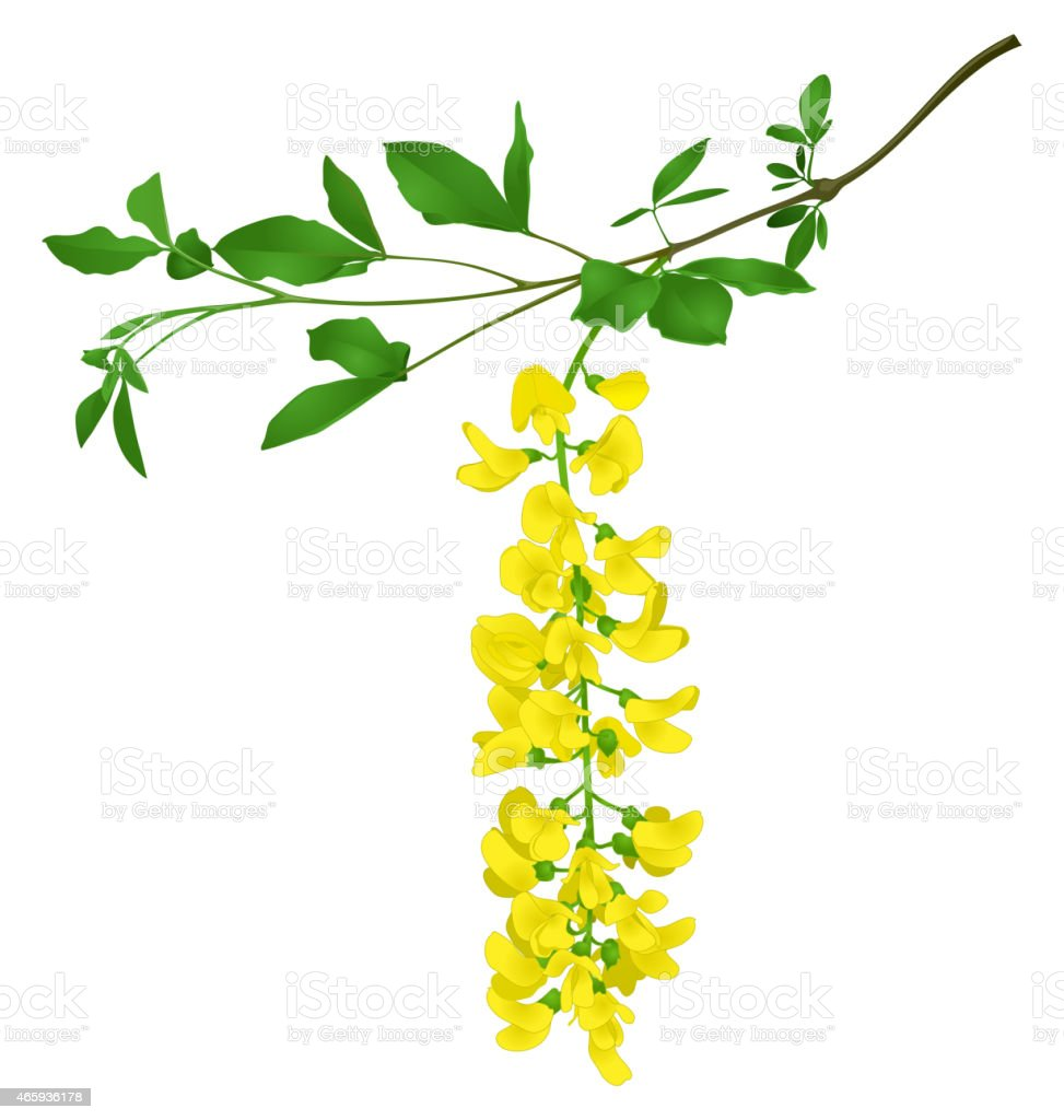 Green branch of yellow acacia isolated on white vector art illustration