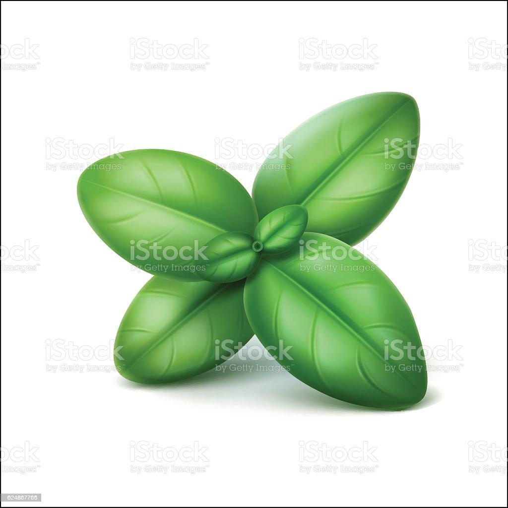 Green Fresh Basil Leaves Close up Isolated on White Background vector art illustration