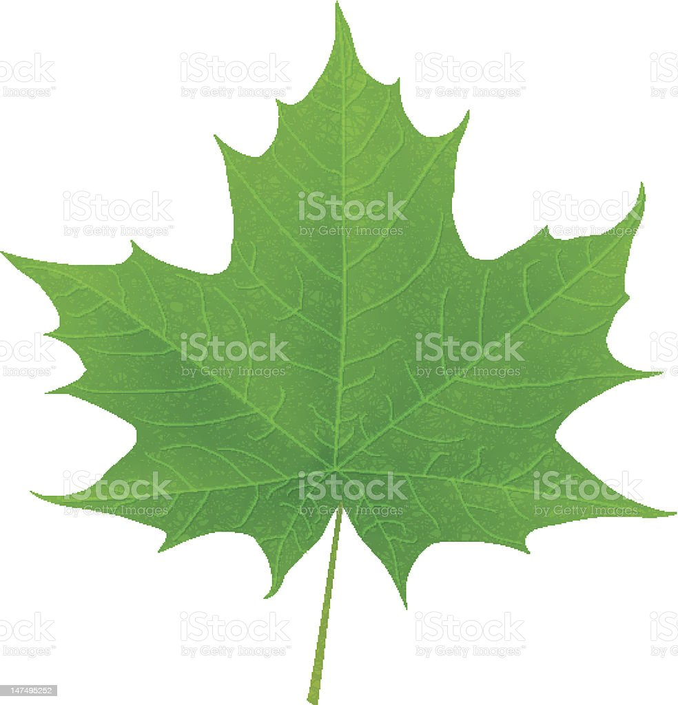 A green leaf from a Maple Tree  vector art illustration