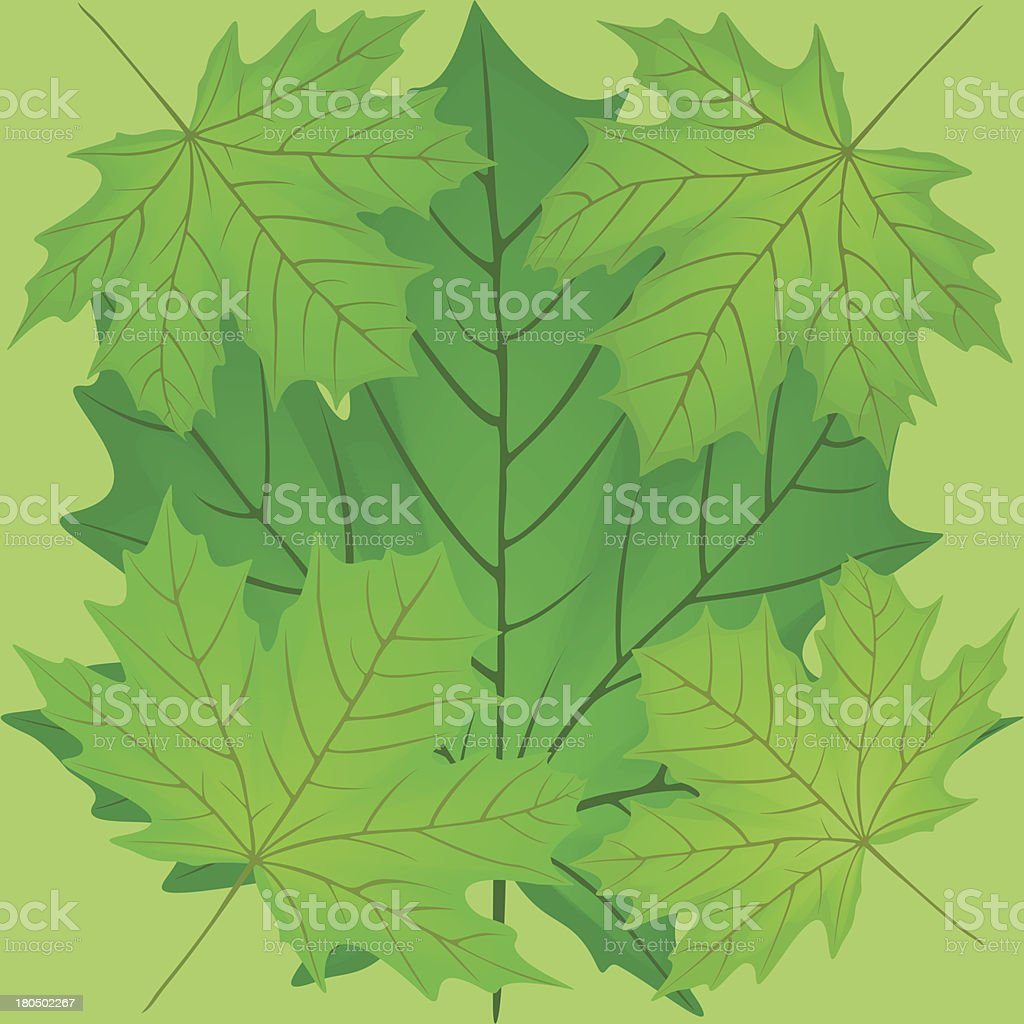 Green leaves of the maple. royalty-free stock vector art