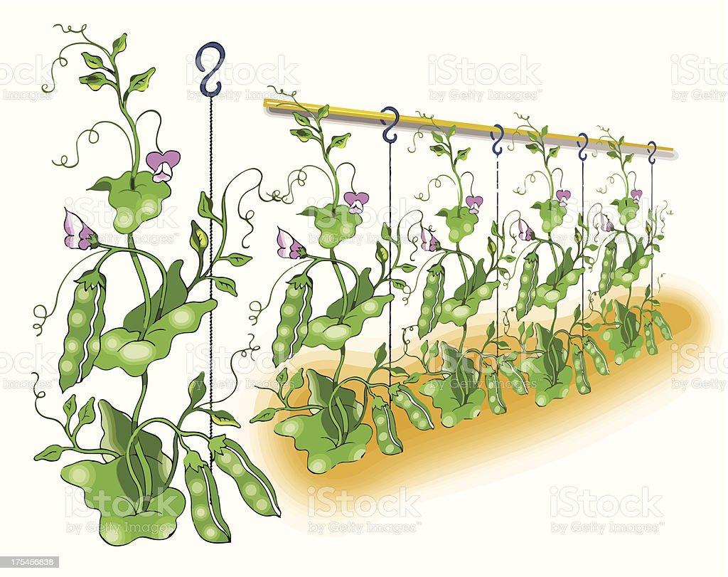 Green pea planting royalty-free stock vector art