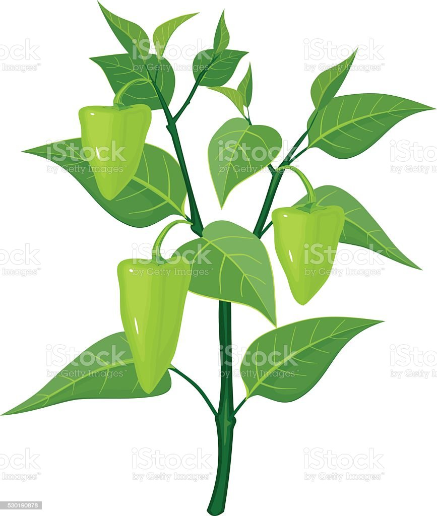 green pepper on plant vector art illustration