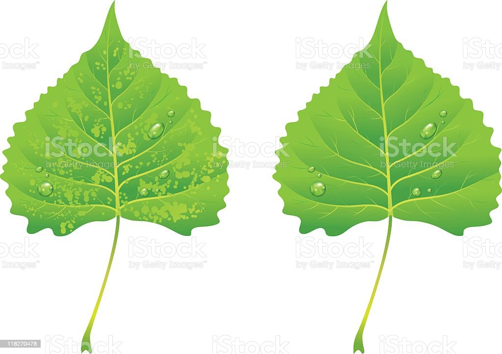 Green Poplar Leaves vector art illustration