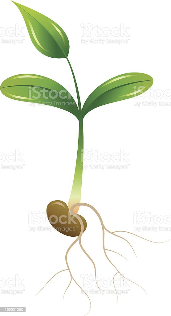 Green seedling with a little leaf, seed and sprouting roots. royalty-free stock vector art