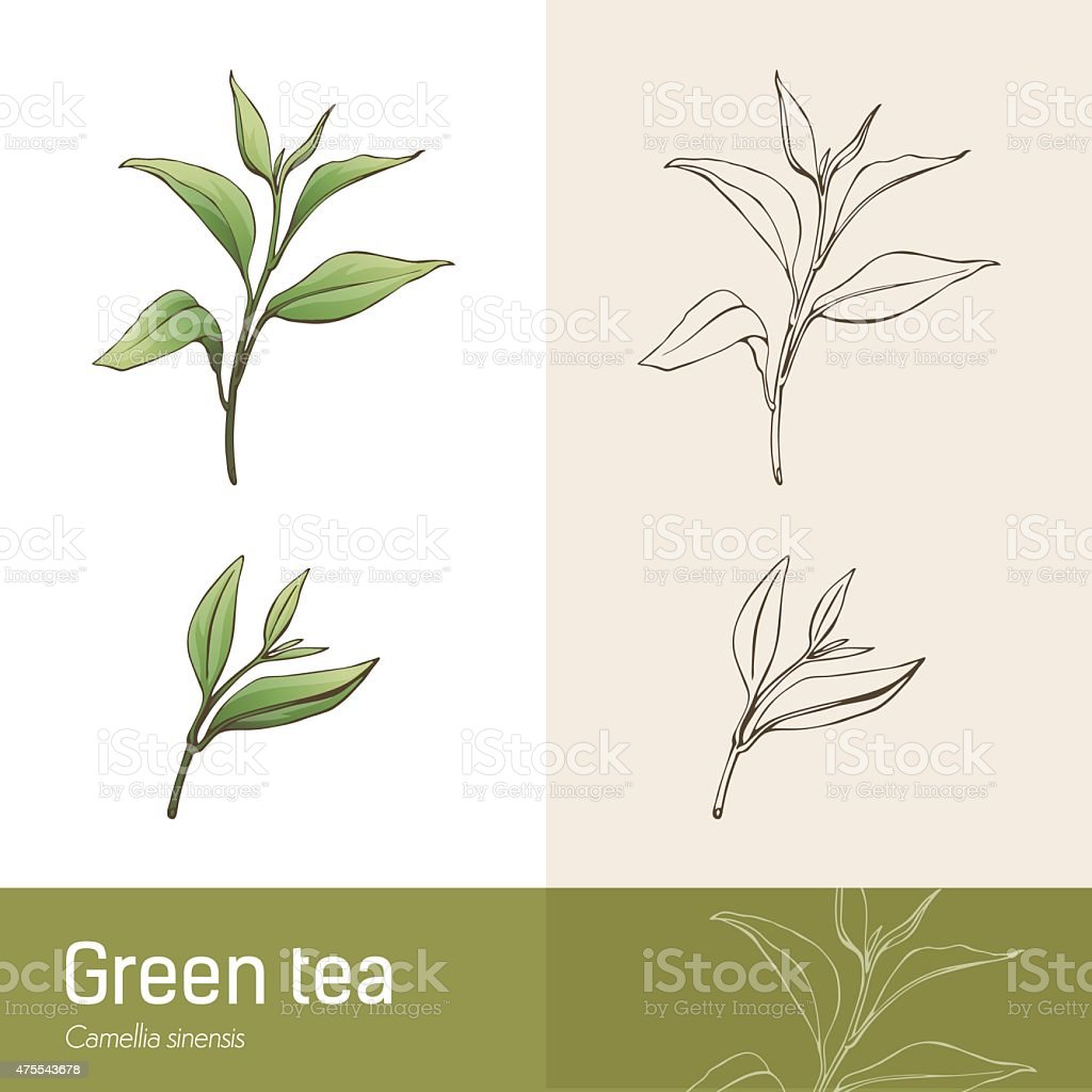 Green tea plant vector art illustration