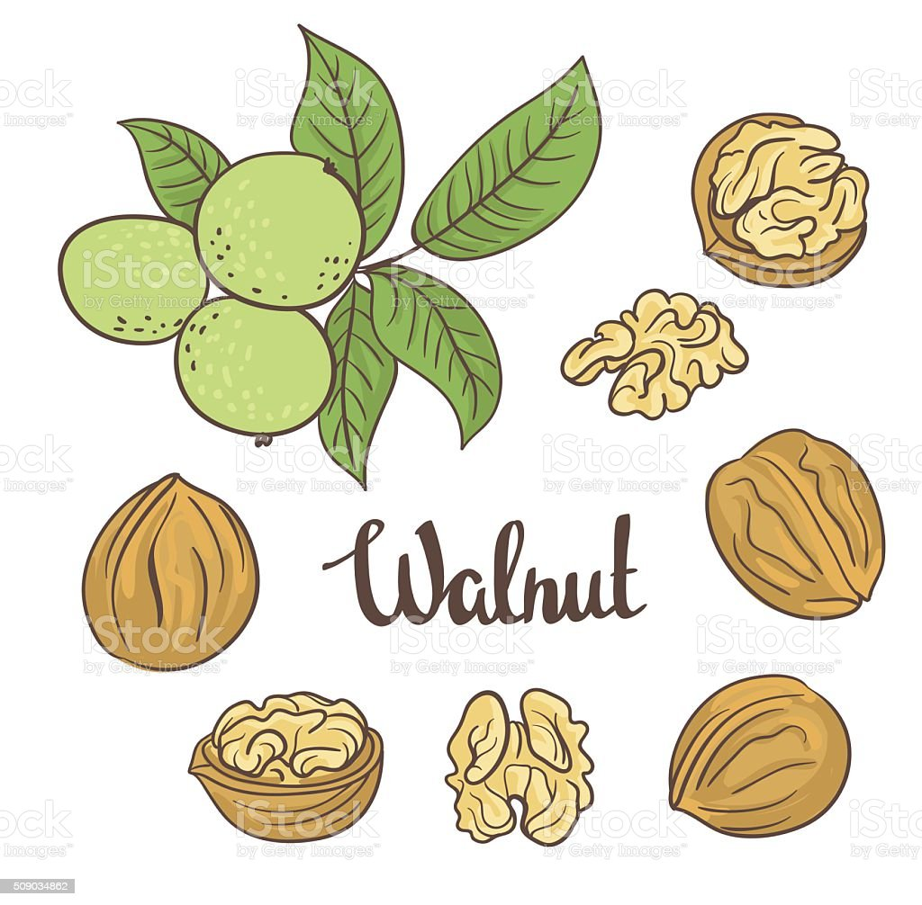 Green walnuts with leaves  and dried walnuts vector art illustration