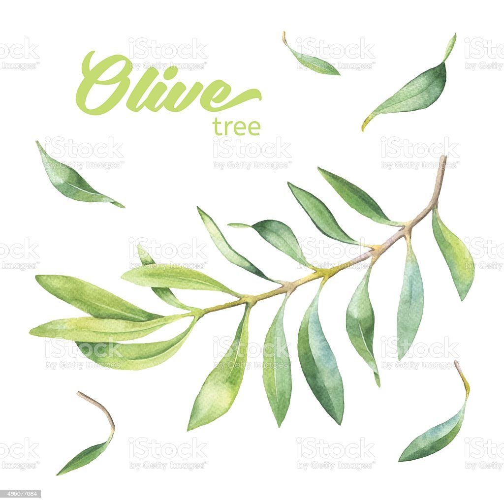 Green watercolor olive branch vector art illustration