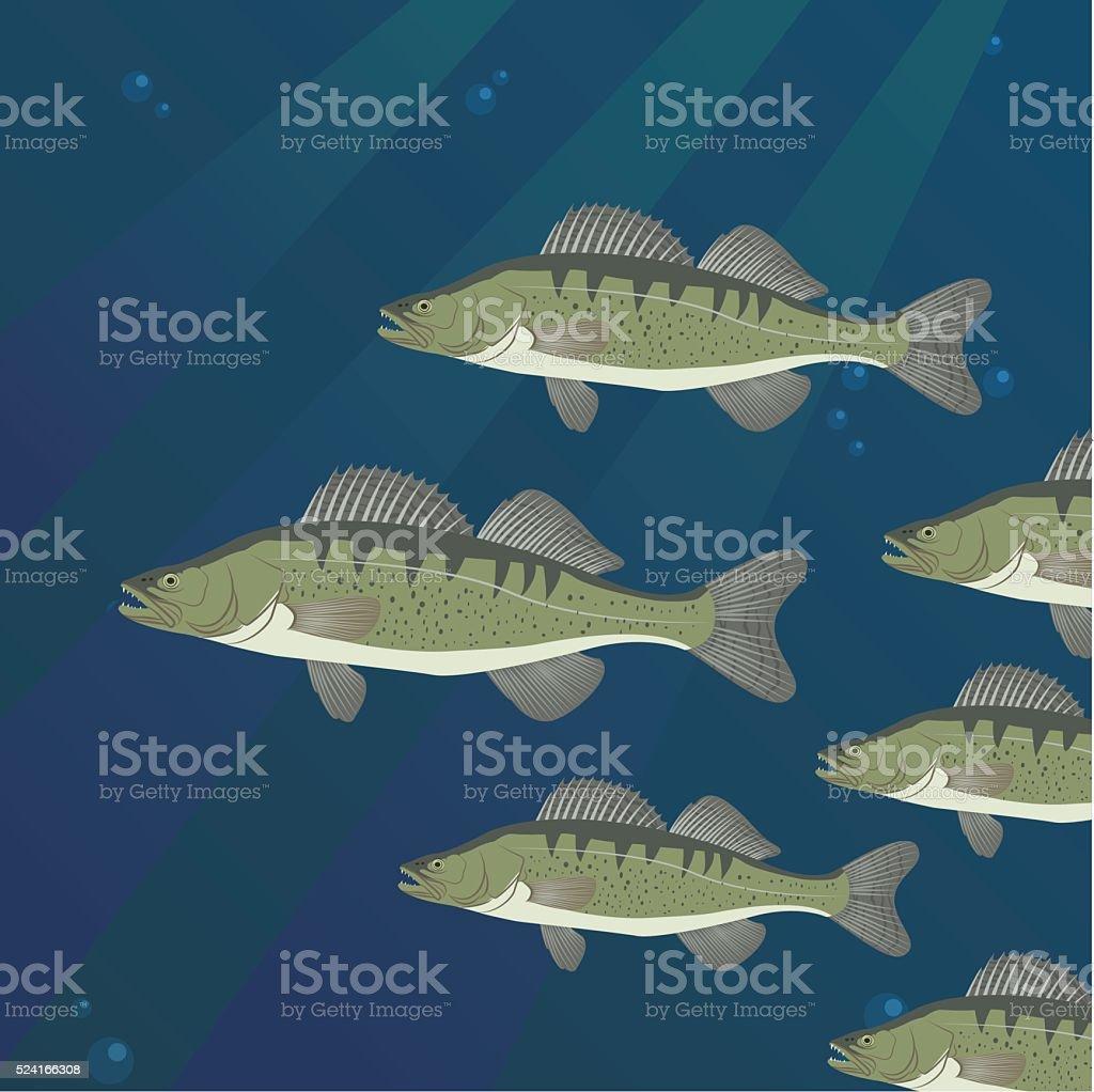 Group of Zander Perch fish swimming vector art illustration