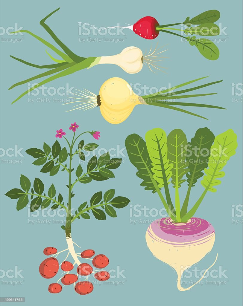 Growing Root Vegetables with Greens Collection vector art illustration