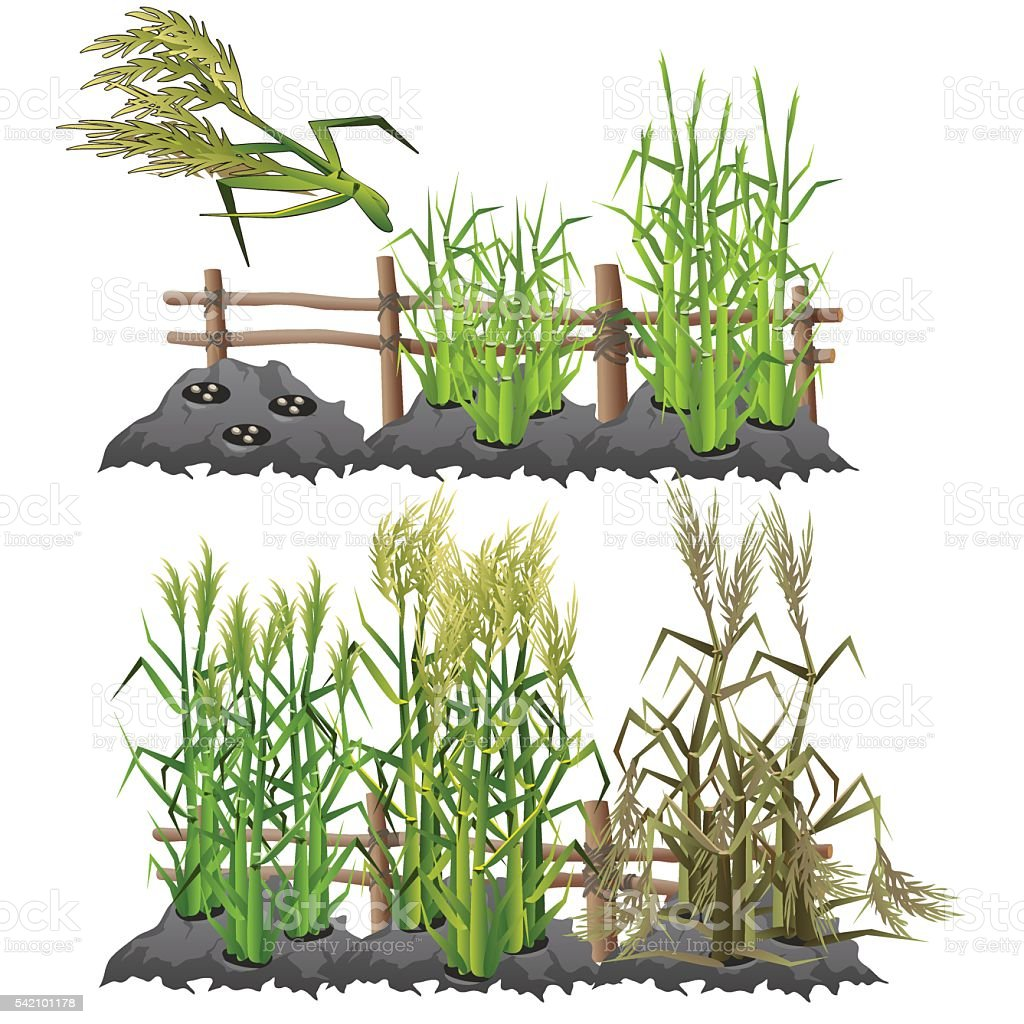 Growth stages of sugarcane, agriculture, vector vector art illustration