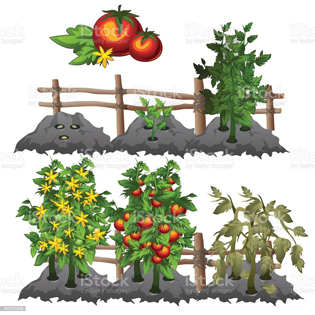 Growth stages of tomatoes, agriculture, vector vector art illustration