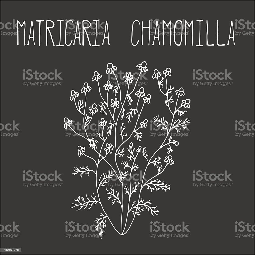 Hand drawing illustration of camomile. vector art illustration