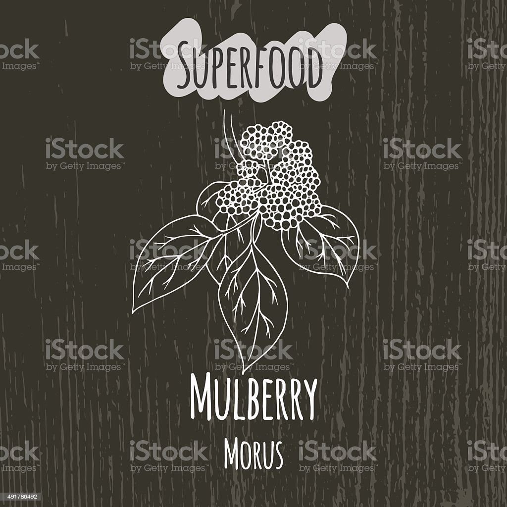 Hand drawing illustration of mulberry. Morus vector art illustration