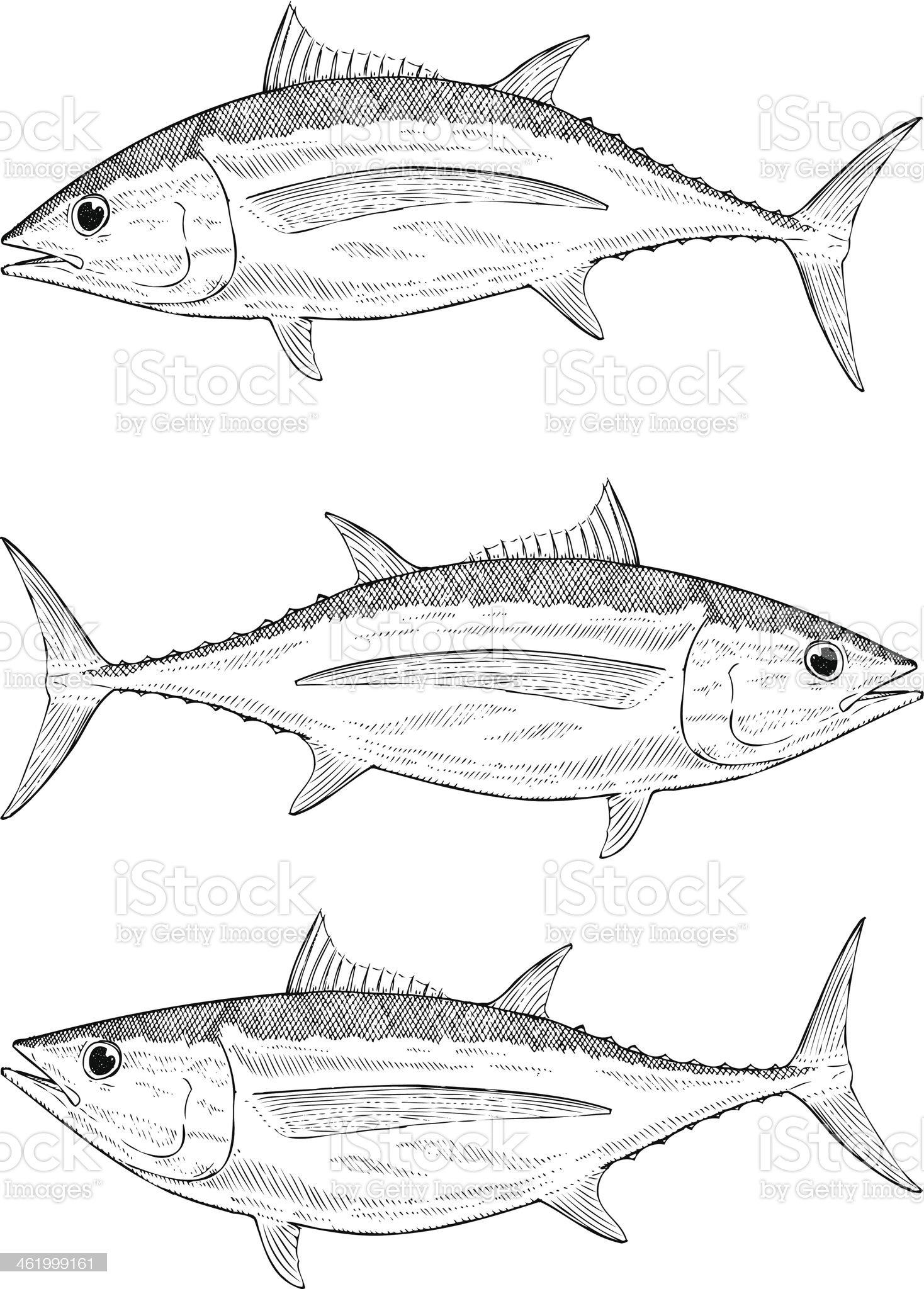 Hand drawn Albacore Tuna royalty-free stock vector art