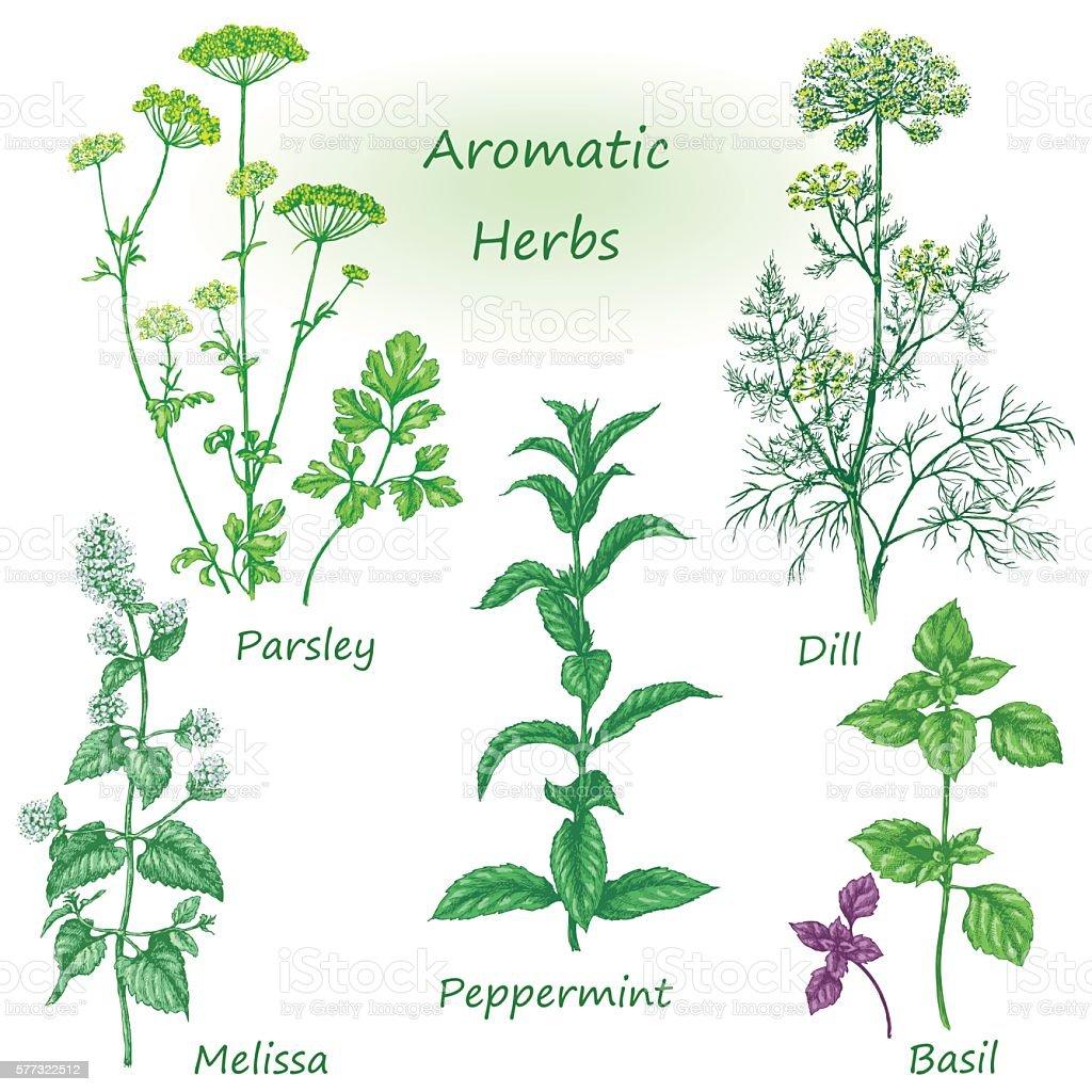 Hand drawn aromatic herbs set. vector art illustration