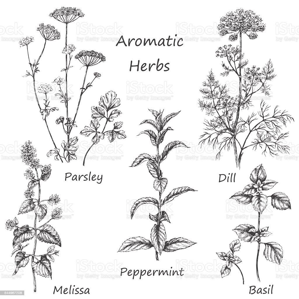 Hand drawn aromatic herbs. vector art illustration