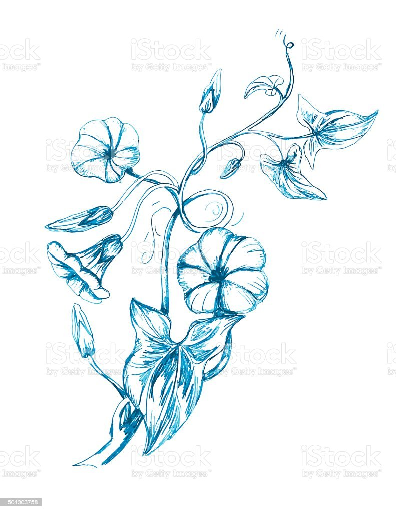 Hand Drawn Bindweed Wildflower vector art illustration