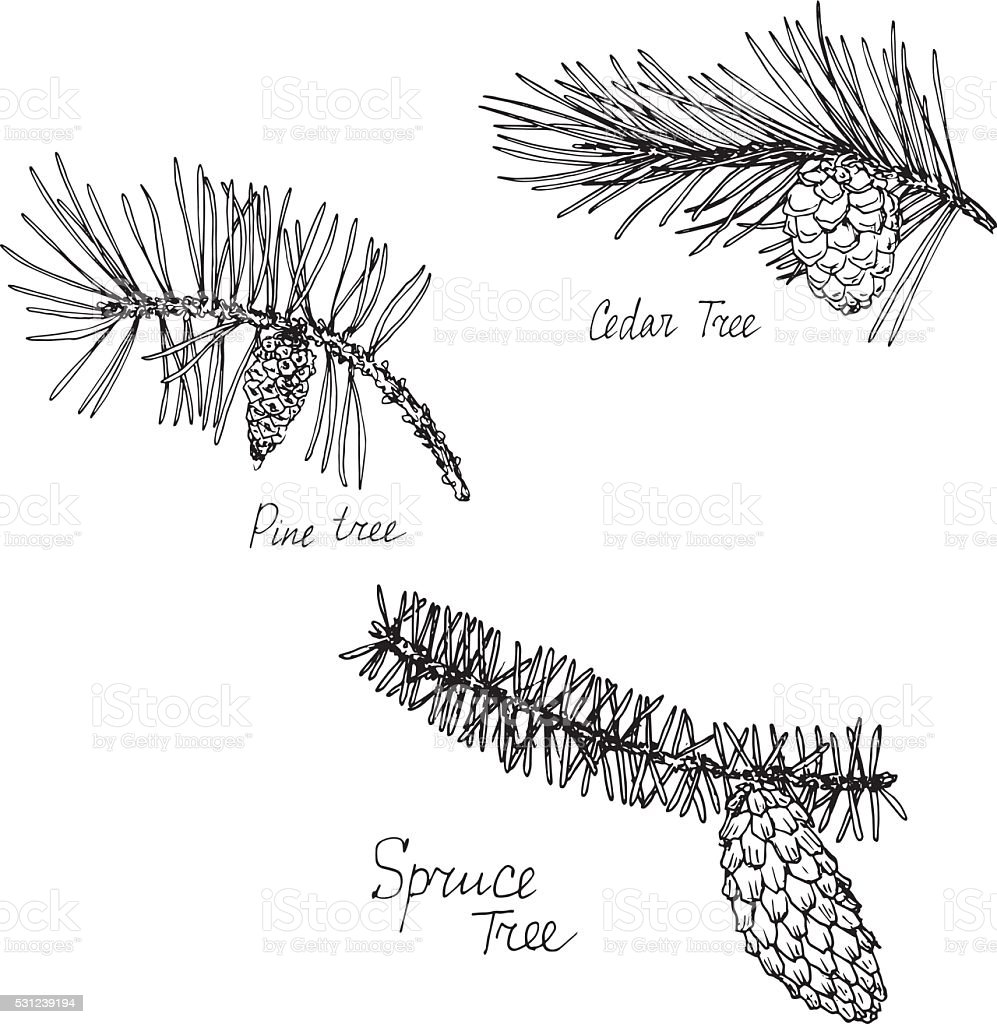 hand drawn branches of conifers vector art illustration