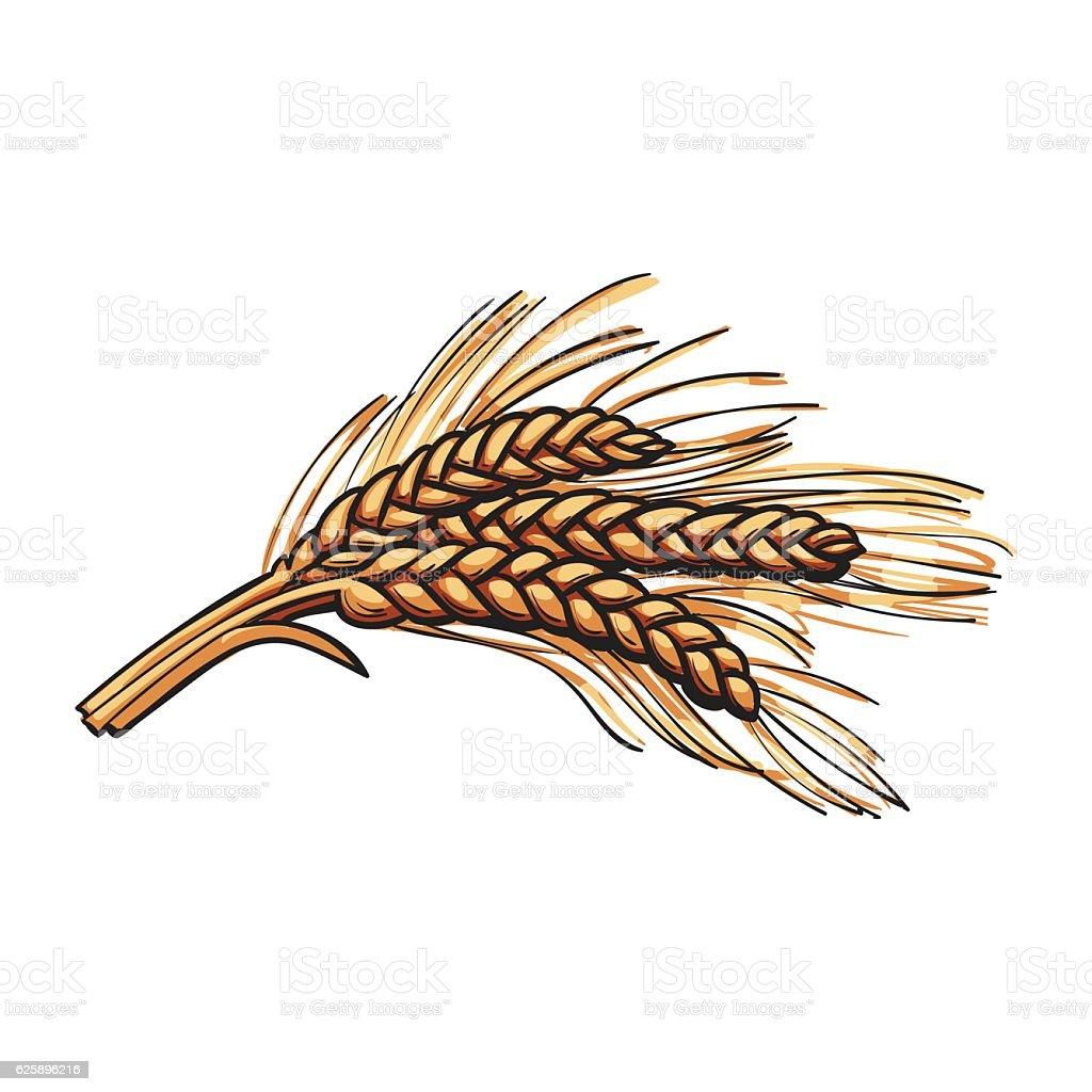 Hand drawn bunch of malt, barley ears vector art illustration