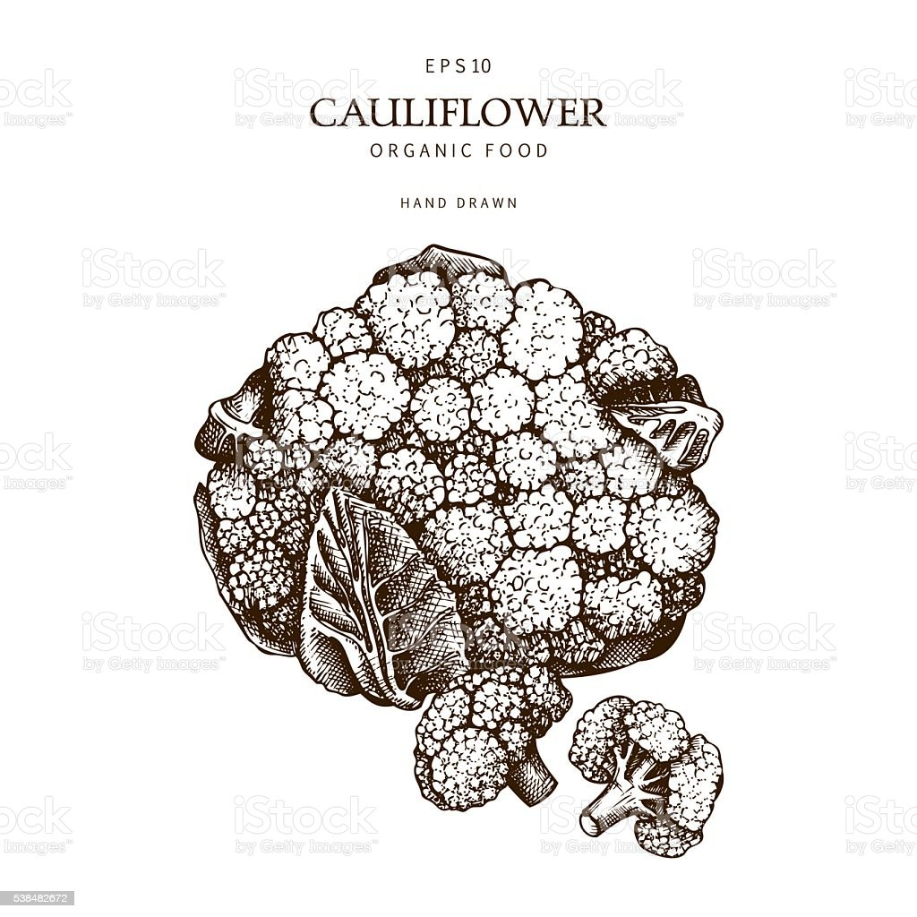 Hand drawn cauliflower illustration. vector art illustration