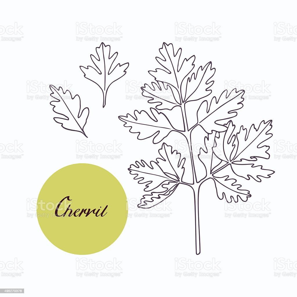 Hand drawn chervil branch with leaves isolated on white vector art illustration