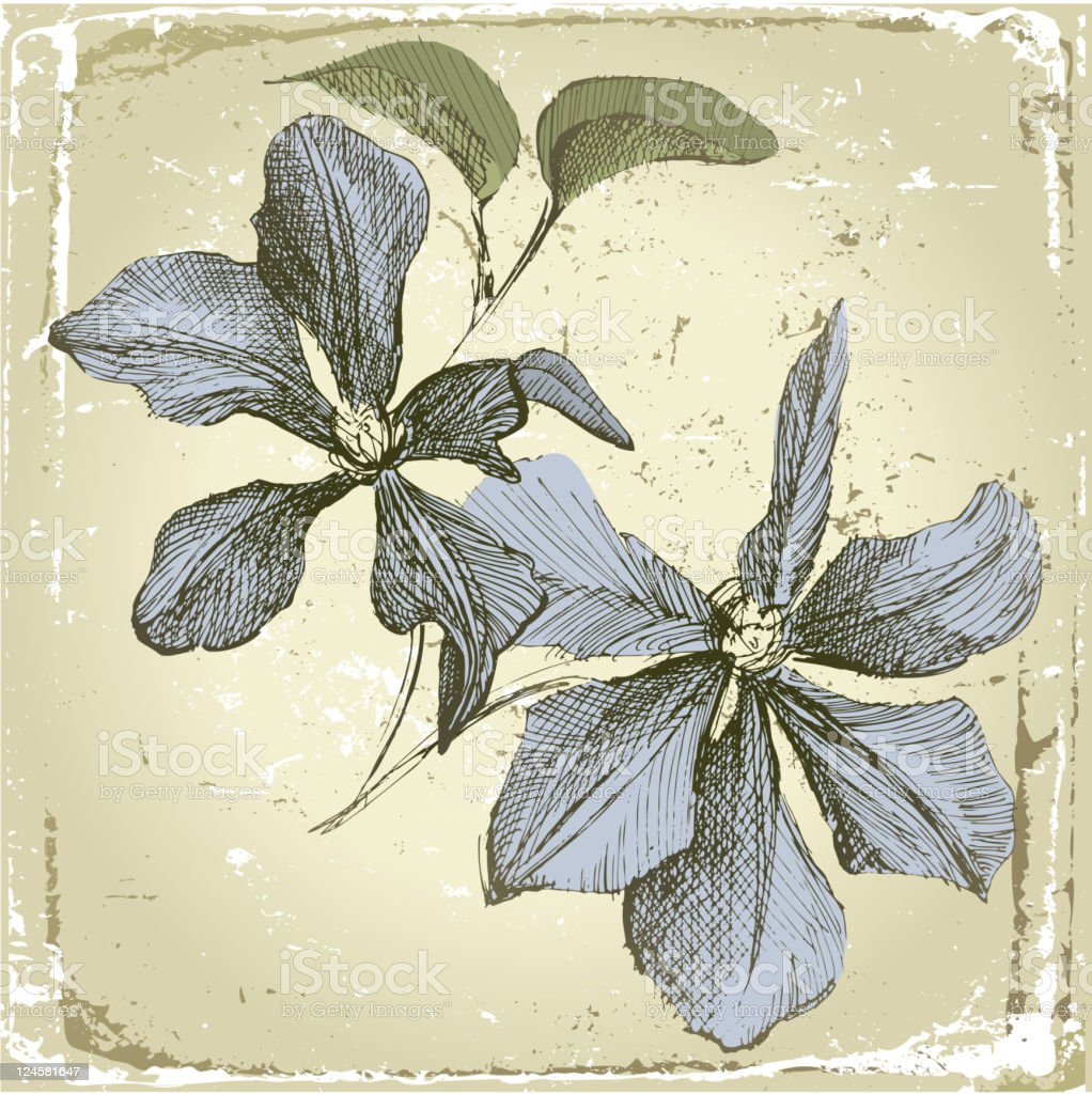hand drawn clematis flowers royalty-free stock vector art