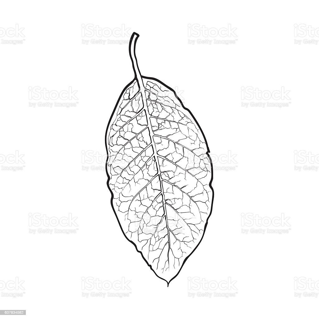 Hand drawn dry tobacco leaf, vector illustration on white background vector art illustration