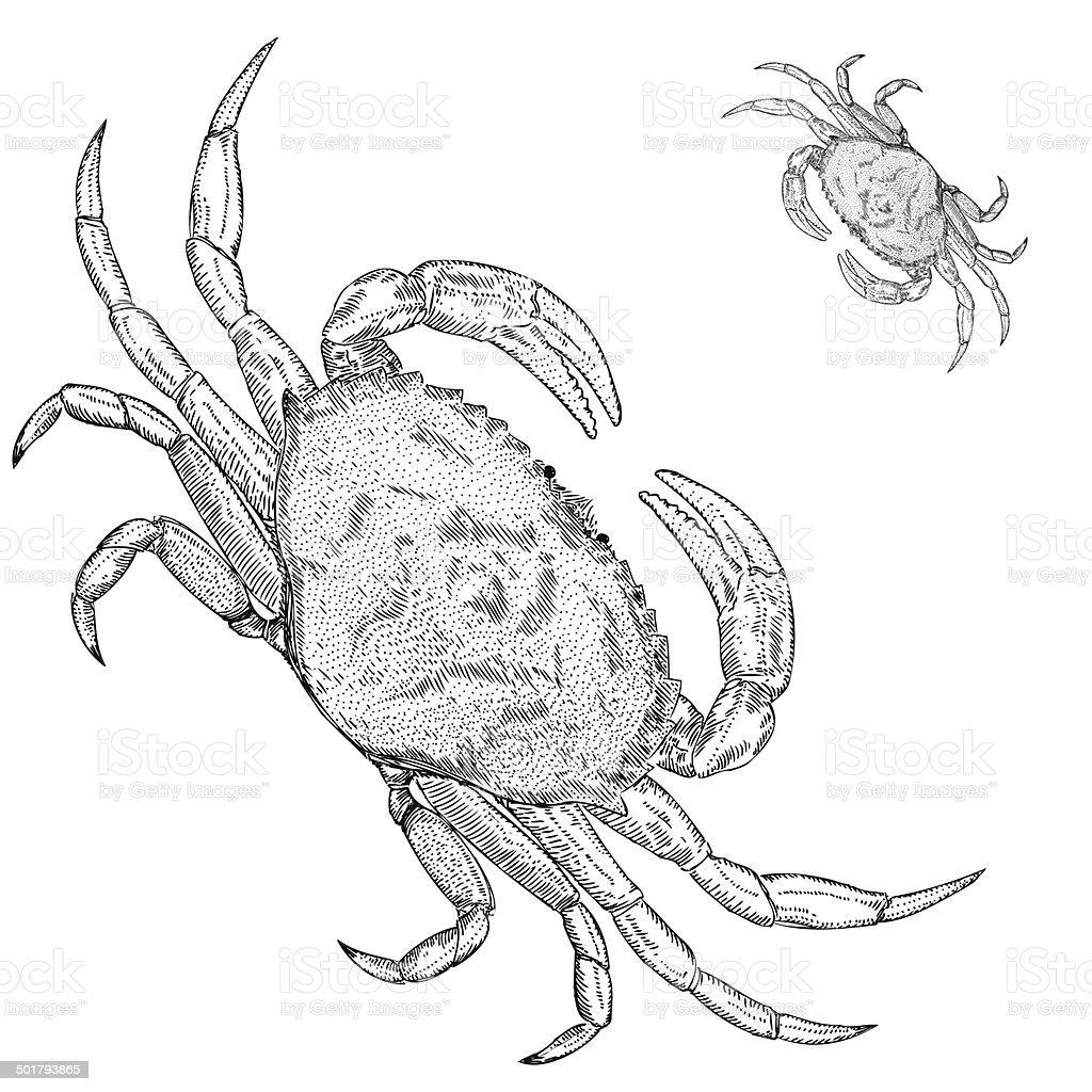 Hand Drawn Dungeness Crab royalty-free stock vector art