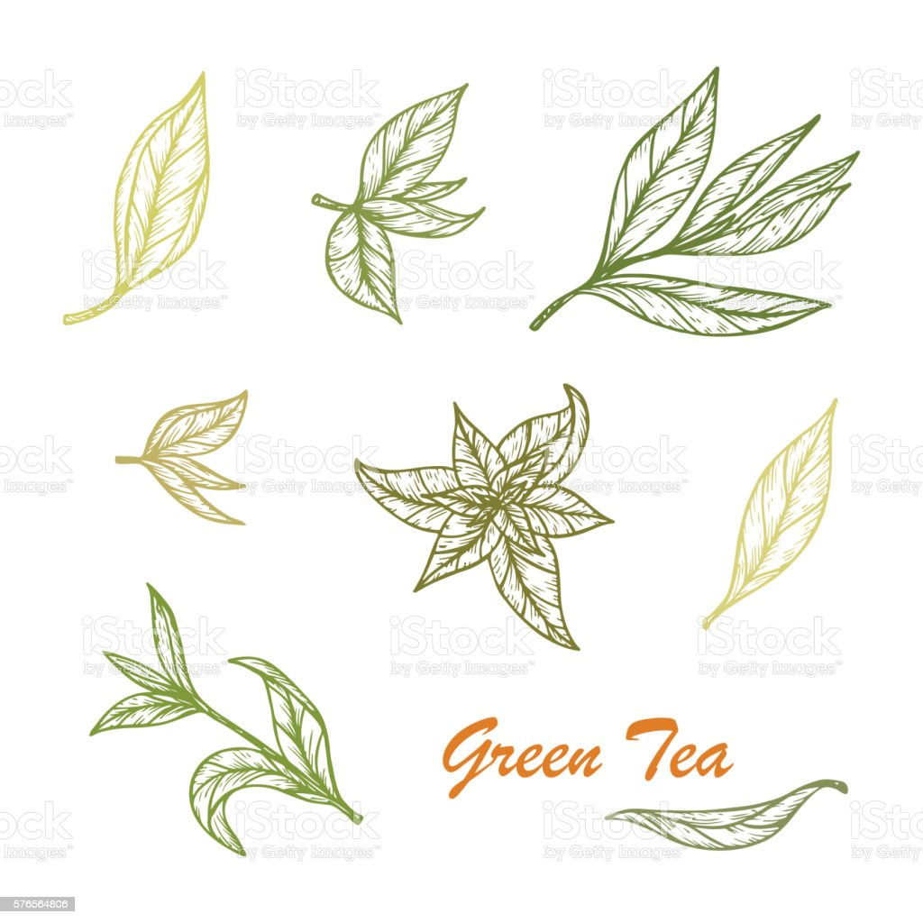 Hand drawn Green tea leaves set. Vector illustration vector art illustration