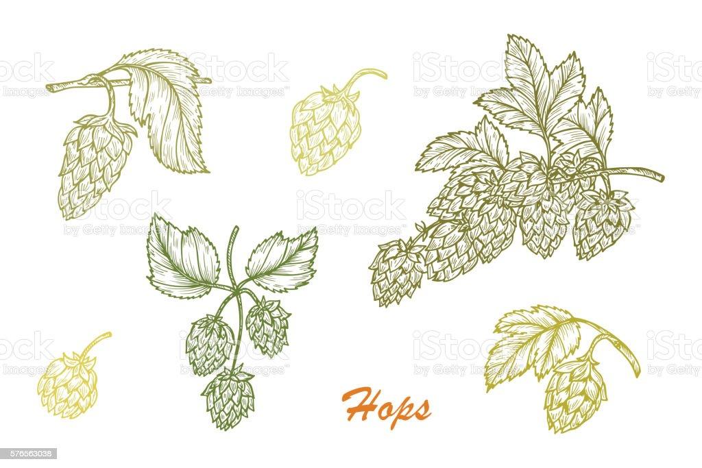 Hand drawn Hops. Common hop (Humulus lupulus) branch, leaves, cones vector art illustration