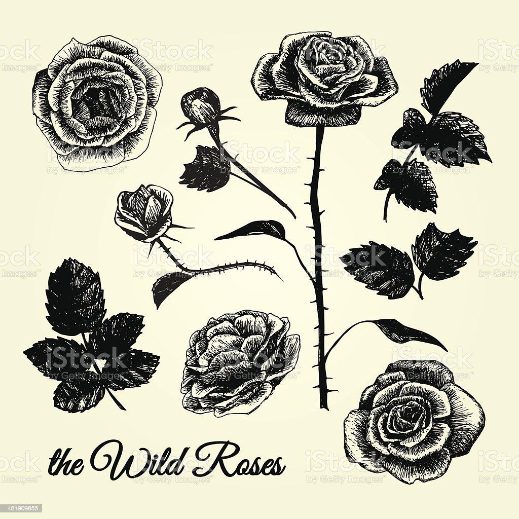 THE WILD ROSES - hand drawn illustrations B&W vector art illustration