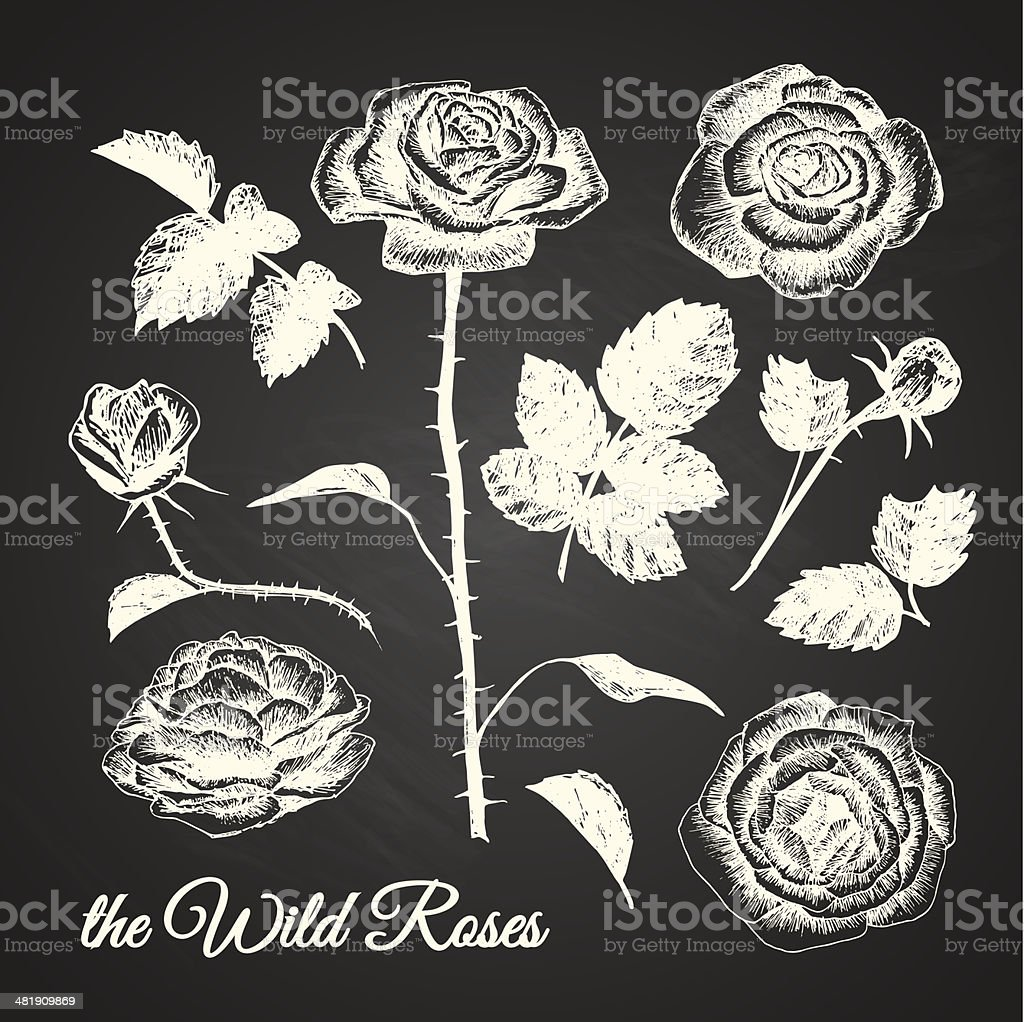 THE WILD ROSES - hand drawn illustrations - chalkboard vector art illustration