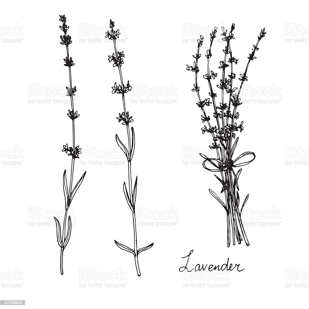 hand drawn lavender plants vector art illustration