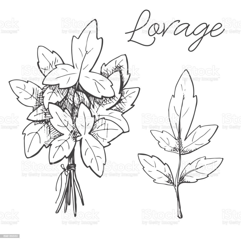 Hand drawn lovage isolated on white background. Vector illustration of a sketch style. vector art illustration