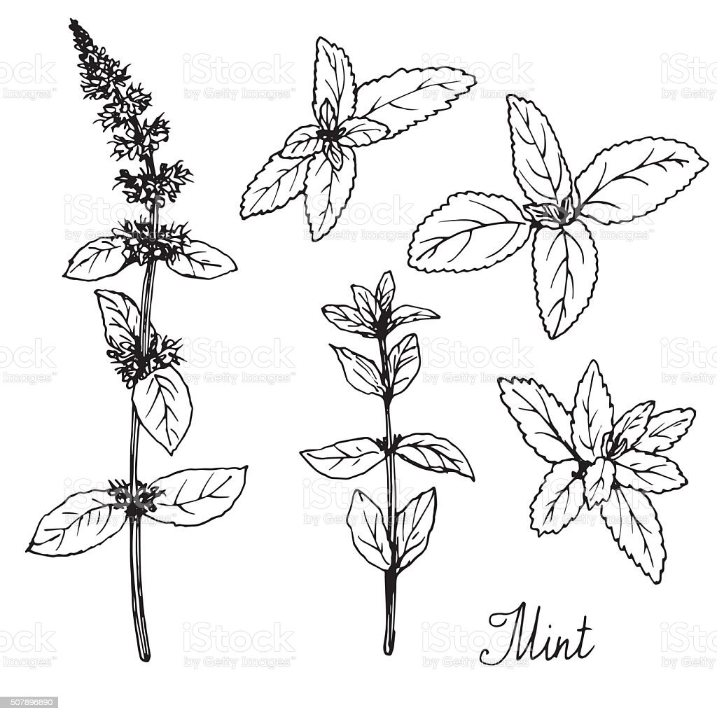hand drawn mint plants vector art illustration