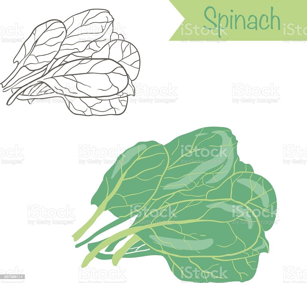 Hand drawn outlined and colored vector spinach vector art illustration